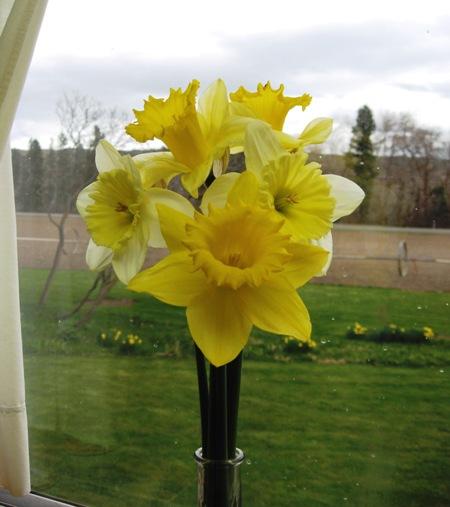spring beauties from my garden