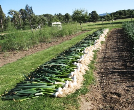 One third of our garlic crop for this year . . .