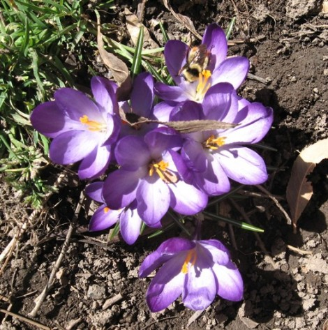 Finally . . . crocus blooming