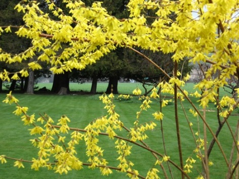 forsythia and daffs