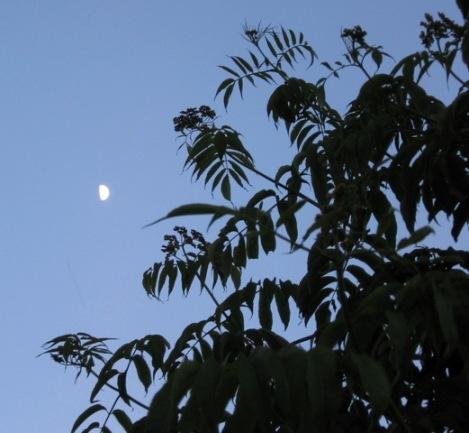 quarter moon, elderberry