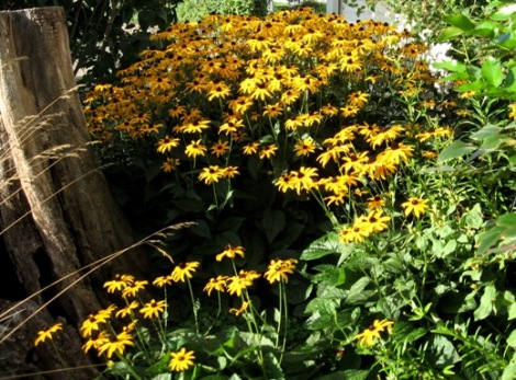 black eyed susans 522