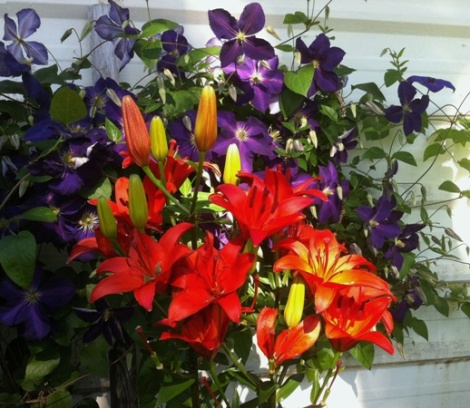 Clematis and lilies 6-2015 518px