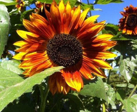 rich sunflower 490 px