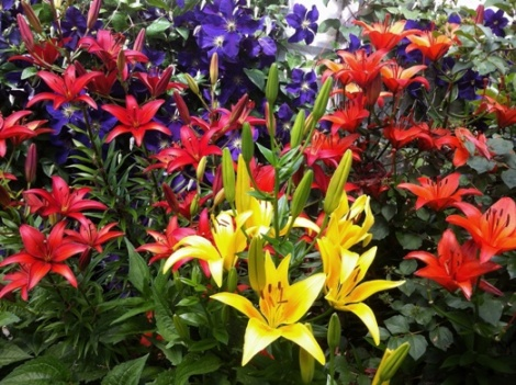 lilies and clematis 2016 525