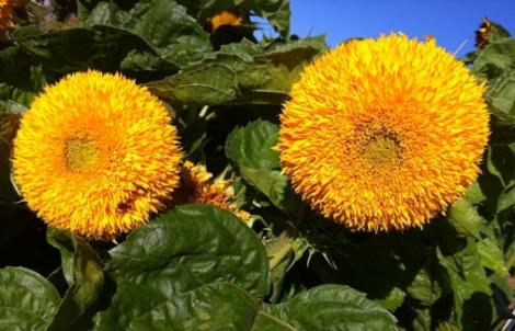 TB sunflowers 505px